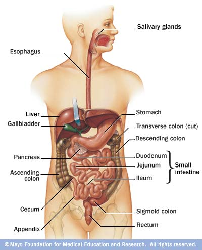 the digestive system and urinary tracts - stomaatje, Human Body